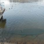 今凄く気になる利根川の巨大魚