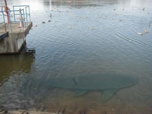 利根川の巨大魚