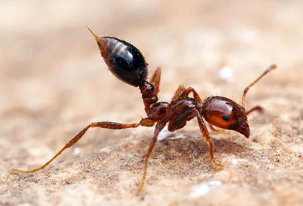 【超危険】猛毒殺人アリの『ヒアリ』の危険性