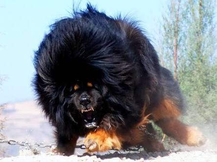世界一高い【高額】2億円の犬チベタンマスティフ