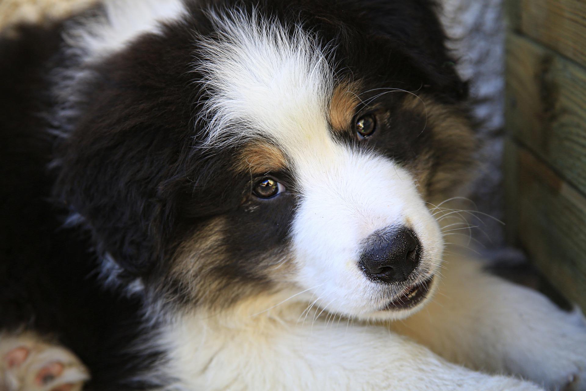 ボーダーコリー 子犬